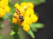 黄色小花上的食蚜蝇图片(6张)
