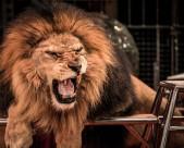 凶猛的狮子图片(12张)