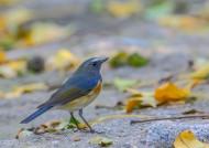 红胁蓝尾鸲图片(6张)