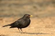 乌鸫鸟图片(6张)