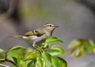 黄眉柳莺图片(7张)