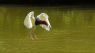 池鹭图片(12张)