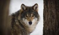 野狼图片(15张)