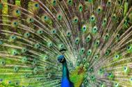 开屏的美丽孔雀图片(14张)