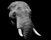 大象的头部图片(12张)