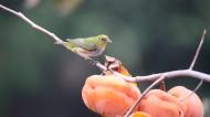 红胁绣眼鸟图片(13张)