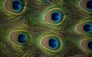 绝美孔雀羽毛图片(8张)