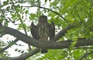 褐鹰鸮图片(10张)