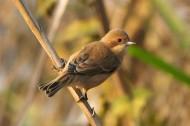 中华攀雀鸟类图片(8张)