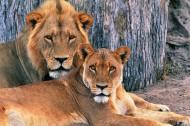 狮子图片(18张)