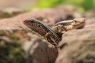 蜥蜴图片(10张)