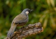 黑喉噪鹛鸟类图片(10张)
