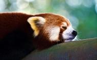 可爱浣熊图片(5张)