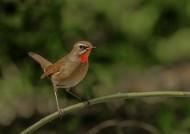 红点颏鸟类图片(8张)