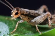 蟋蟀图片(8张)