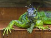 蜥蜴 变色龙图片(27张)