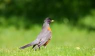 黑喉红尾鸲鸟类图片(13张)