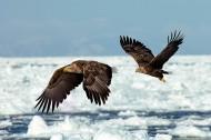白尾海雕鸟类图片(6张)