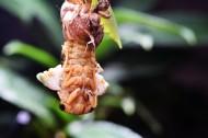 蝉脱壳的过程图片(12张)