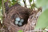 鸟巢中的鸟蛋图片(7张)