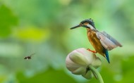 蜜蜂与翠鸟图片(6张)