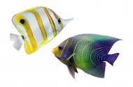 美丽的热带鱼图片(12张)