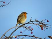 小巧可爱的知更鸟图片(15张)