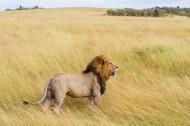 勇猛的狮子图片(10张)