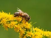 采蜜的蜜蜂图片(15张)