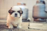 可爱的小奶狗图片(11张)
