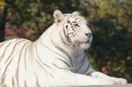 威武霸气的孟加拉白虎图片(15张)