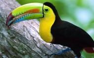 巨嘴鹦鹉图片(19张)