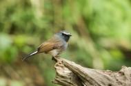橙胸姬鹟鸟类图片(7张)
