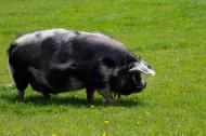 猪图片(10张)