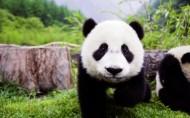可爱的大熊猫图片(25张)