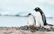 野生动物企鹅图片(15张)