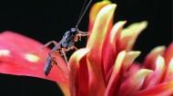 姬蜂微距特写图片(8张)