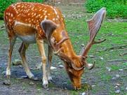 可爱的梅花鹿图片(12张)