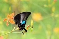 花间飞舞的蝴蝶图片(9张)