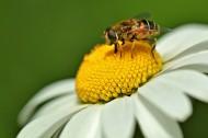 采蜜的小蜜蜂图片(16张)