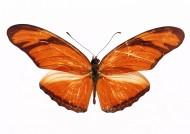 黄色蝴蝶标本图片(30张)