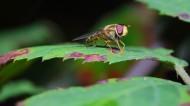 蜂蝇图片(9张)