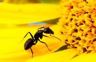 葵花上的黑蚂蚁图片(8张)