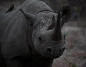 身体庞大的犀牛图片(13张)