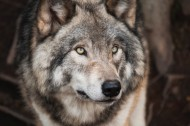 狼的头部图片(15张)