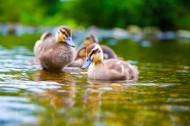 河里游泳的小鸭子图片(12张)