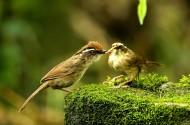 小型鸟类之褐胁雀鹛图片(15张)