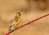 金翅雀鸟类图片(7张)