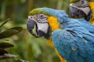 美洲金刚鹦鹉图片(12张)