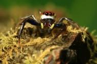 跳蛛微距图片(10张)